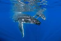 Kingdom of Tonga, Ha'apai, Humpback whale (Megaptera novaeangliae) mother and calf underwater