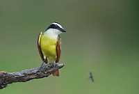 554810204 a wild great kiskadee pitangus sulphuratus perches on a dead mesquite tree limb on laguna seca ranch near edinburg texas united states