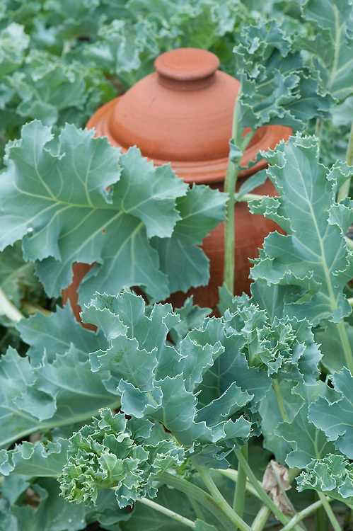 Sea kale 'Lily White' with terracotta forcing jars, mid July.