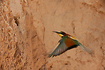 European Bee-eater (Merops apiaster), Flying to the nest, Alicante, Comunidad Valenciana, Spain