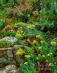 Euphorbia, Euphorbia amygdaloides, Fern Canyon Gardens, Mill Valley, California