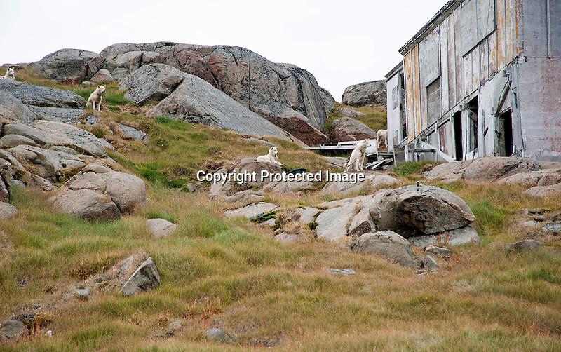 Sled Dogs Kulusuk Greenland