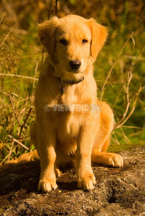Portrait of a Golden Retriever puppy