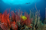 Red whip corals or sea whips (Ellisella sp.) and whip coral forest (Junceella sp.) with diver