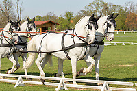 Four-in-hand Horses photographed close up, at international Horse competition in Kladruby n. Labem, The Czech Republic, Europe