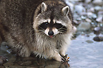 Raccoon with fish in Mt.