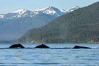 humpback whales, Megaptera novaeangliae, surfacing after co-operatively bubble-net feeding, front of Mendenhall Glacier, Stephen's Passage, Alaska, USA, Pacific Ocean