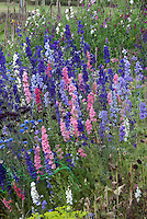 Lush flower cutting garden with half-hardy annuals larkspur delphinium in pink purple blue colours, bachelor buttons Centaurea cyanus,  sweetpeas climbing teepee Lathyrus odoraus, cosmos