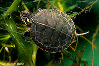 1R13-101z  Painted Turtle - young in pond swimming under water  - Chrysemys picta