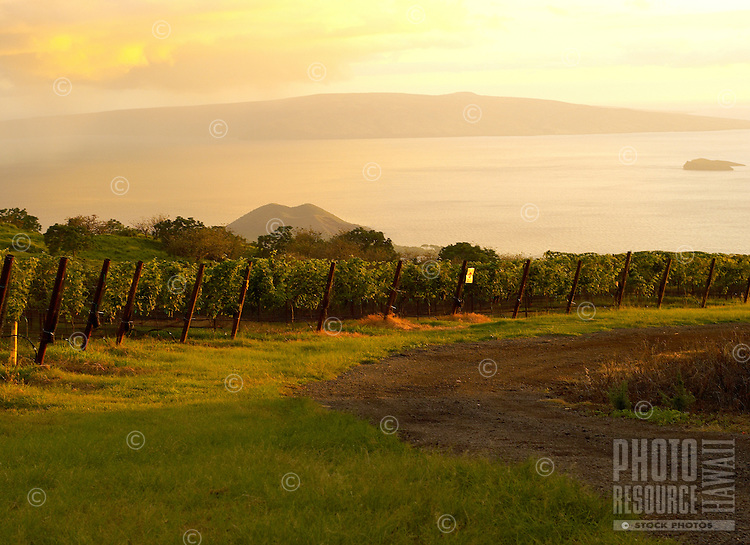 Vineyards of Ulupalakua, Maui At Sunset