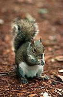 Squirrel, eating.