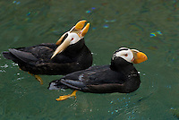 Tufted Puffins (Fratercula cirrhata).  Pacific Northwest coast.