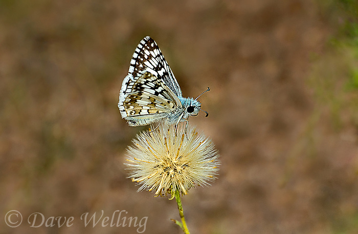 389250003 a wild common checkered skipper butterfly pyrgus communis perches on a small wildflower in city of rocks state park new mexico