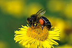 Honey Bee, Apis mellifera, worker bee with pollen sacks on legs, collecting pollen from yellow fleabane flower (pulicaria dysenterica), social, network.United Kingdom....