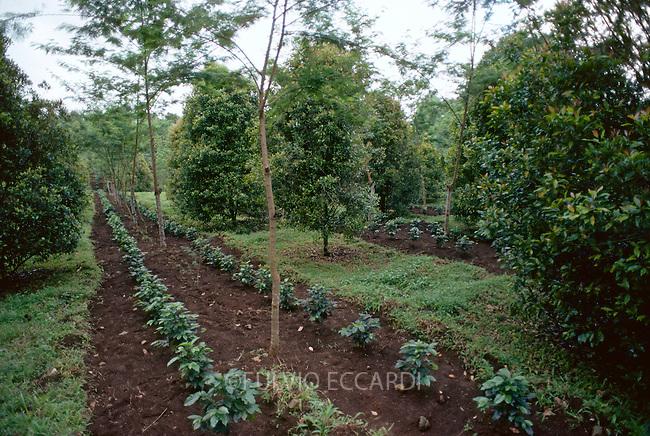 Indonesia, Timur, Kalibendo, estate, east, Java, coffee, coffea, cherries, beans, robusta, variety, plantation, plant, tree, foliage, grow, organic, intercrop, clove