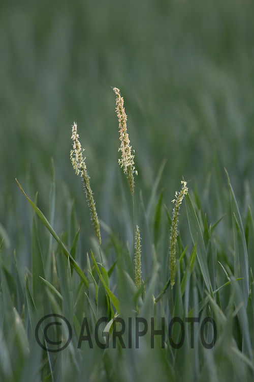 Blackgrass flowering<br /> ©Tim Scrivener Photographer 07850 303986<br /> ....Covering Agriculture In The UK....