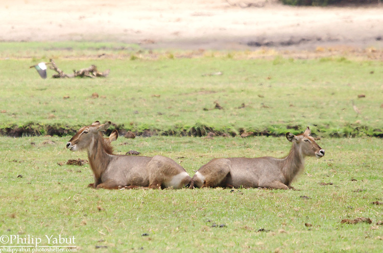 Waterbuck symmetry in Chobe National Park, Botswana.