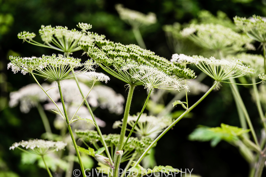 Cow Parsnip. Washington