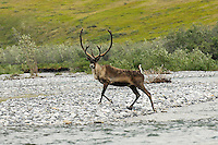 A caribou seems to pose for the camera after it crosses the Marsh Fork of the Canning River in the Arctic National Wildlife Refuge in Alaska.