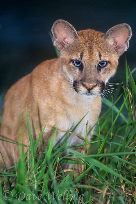 656324009 a captive wildlife rescue mountain lion cub felis concolor sits in tall grasses at a rescue facility in central florida