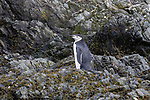Chinstrap Penguin, Point Wild, Elephant Island