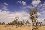Israel, Negev desert, Tamarisk trees in Ramat Beka south of Beer Sheva