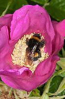 Dunkle Erdhummel, Blütenbesuch, Nektarsuche, Blütenbestäubung an Kartoffelrose, Bombus terrestris, buff-tailed bumble bee