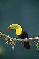 Wild Keel-billed Toucan (Ramphastos sulfuratus), also known as Sulfur-breasted Toucan or Rainbow-billed Toucan.  Found from southern Mexico south through Central America into northern South America.  This photo is from Costa Rica's lowland, tropical rainforest.
