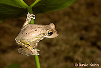 0201-0919  Cuban Treefrog (Cuban Tree Frog) on Plant Stem, Osteopilus septentrionalis  © David Kuhn/Dwight Kuhn Photography