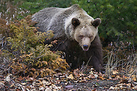 Grizzly Bear walking through some fall underbrush - CA