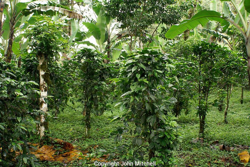 Shade grown organic coffee lot at Finca Esperaza Verde  near Matagalpa, Nicaragua