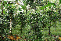Shade grown organic coffee lot at Finca Esperaza Verde  near Matagalpa, Nicaragua