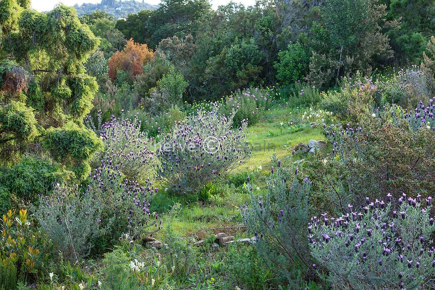 Le Domaine du Rayol: ambiance de maquis avec lavande papillon.