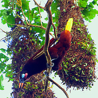 Montezuma oropendola displaying