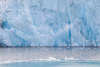 Black-legged kittiwakes in fly in front of a tidewater glacier, Svalbard, Norway