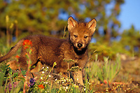 Young Gray Wolf pup among wildflowers.  Western U.S., summer.