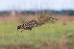 Rufescent Tiger heron stalking through  long grass, Argentina.