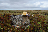 Female Emperor Goose (Chen canagica) sitting on its egss on eggs. Yukon Delta, Alaska. June.