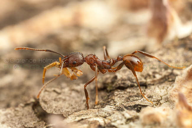 A Spine-waisted Ant (Aphaenogaster fulva) carries scavenged food back to its nest in a fallen dead tree.