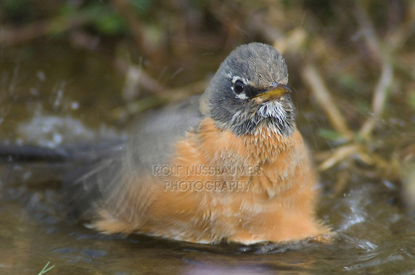 American Robin, Turdus migratorius, female bathing, Yellowstone NP,Wyoming, USA
