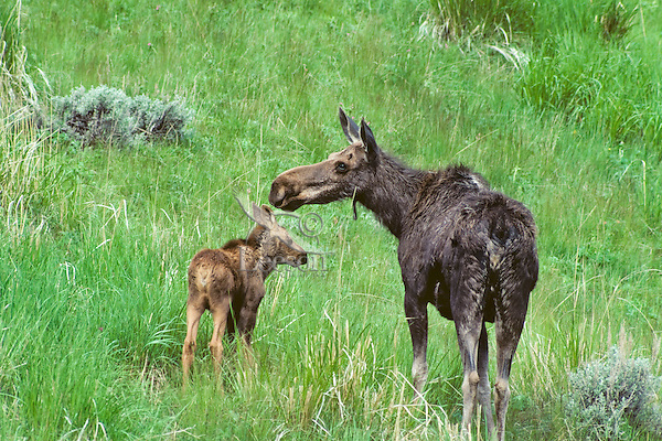 Cow and calf moose.  Western U.S., june.