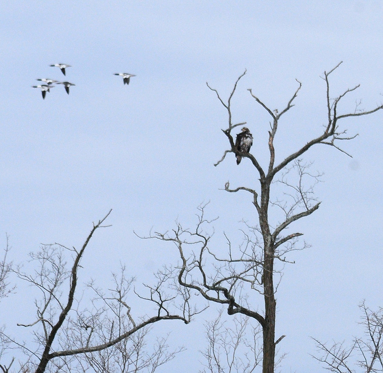 Bald Eagle seen on the Steve Chorvas led Esopus Creek Conservancy's Annual Spring Bird Walk, through along the Saugerties Lighthouse Trail, in Saugerties, NY on Sunday, March 19, 2017. Photo by Jim Peppler. Copyright Jim Peppler 2017.