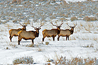 Wintering bull elk.  Summit County, Utah.