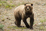 A grizzly bear Denali National Park, Alaska.
