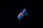 Pteropod Sea Angel, purple