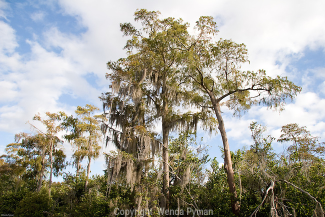 Spanish moss is an invasive plant that eventually kills its host.