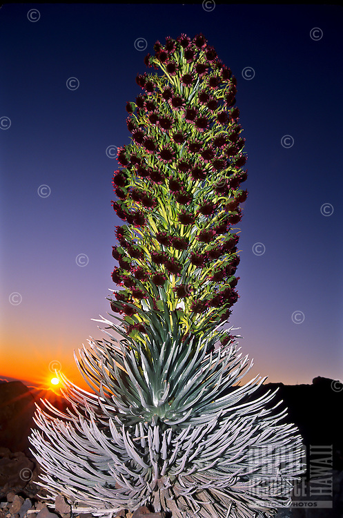 A large silversword (or 'ahinahina) in full bloom at sunrise at the summit parking lot on Mt. Haleakala, Haleakala National Park, Maui. They bloom once, at the end of their lifetime (of three to 90-plus years) for about four days. This rare photo was taken during that time. This subspecies of silversword is only found above 6,500 ft. on the slopes of Haleakala. It is still on the U.S. Fish and Wildlife's threatened species list.