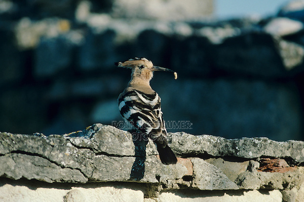 Eurasian Hoopoe, Upupa epops,adult with insect, Camargue, France, May 1993