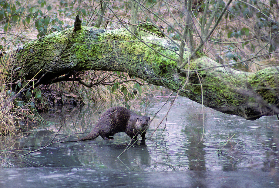 Otter (Lutra lutra) op 't ijs.