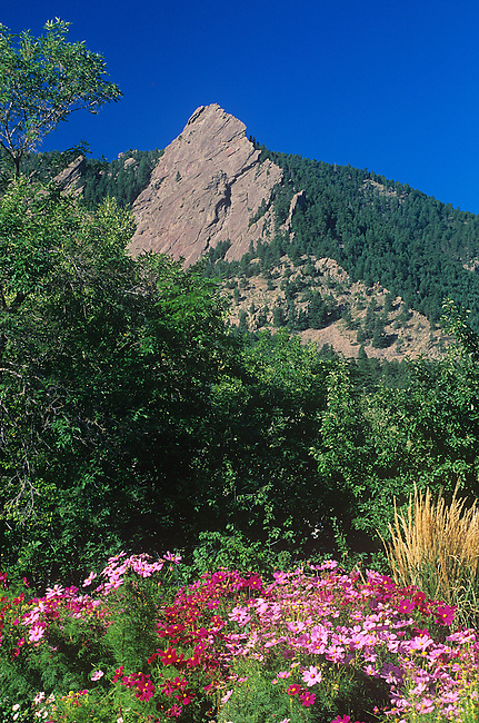 Sweet Peas, wildflowers, Flatirons, Boulder, Colorado